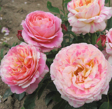 Europe may spend climbing rose seedlings kludd monet monet classic rose rose seedlings seedlings
