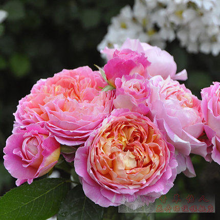 Europe rose month france monet climbing rose rose seedlings potted seedlings europe europe rose month cuttings seedlings