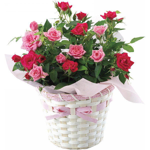 [Flower] desktop potted roses seasons flowers potted plants rose rose rose rose seedlings
