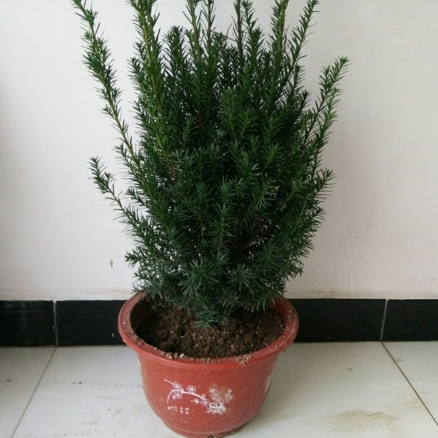 Good potted yew taxus bonsai yew yew yew tree taxus with If the real shot