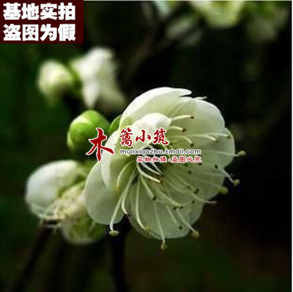 [Green hupeh plum boutique 16] when flowering plum seedlings potted fruit tree seedlings planted courtyard balcony