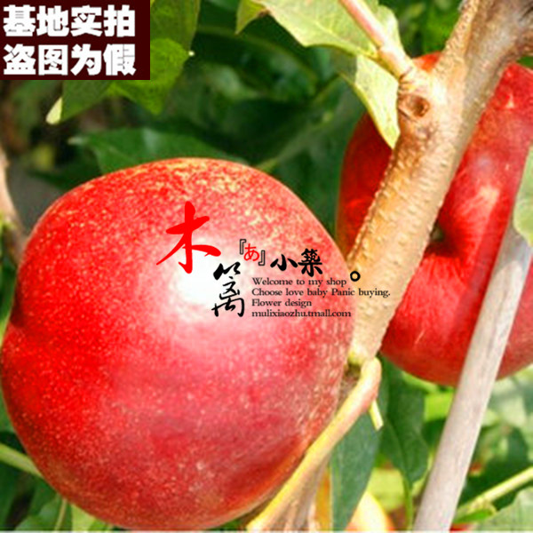 [Honey king 15] apricot seedlings planted fruit tree seedlings planted courtyard north and south balcony pots planted easy Survive