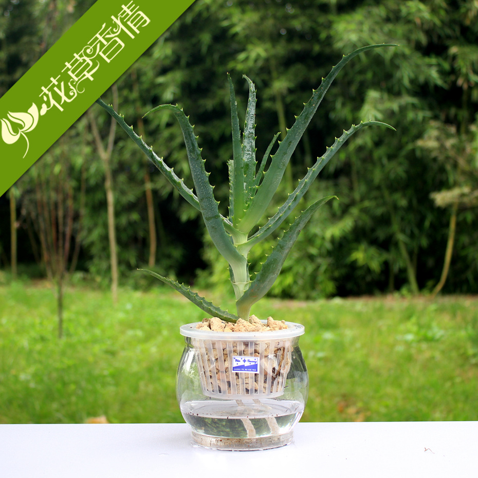 Hydroponic plant flowers potted aloe vera aloe vera aloe arborescens mujian officinal suit beauty radiation