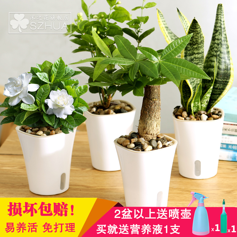 Hydroponic plants potted flowers gardenia pachira lucky bamboo green dill spider indoor potted bonsai small office