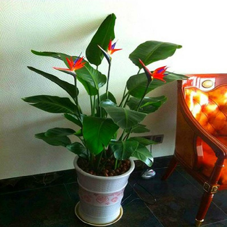 Indoor foliage plants flower orchid seedlings when flowering potted flowers bird of paradise strelitzia seedlings