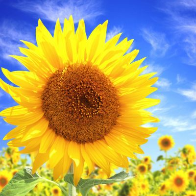 Large edible sunflower? n sub ornamental sunflower ornamental sunflower potted garden planting more meat and more meat plants trolltech