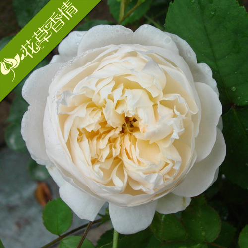 Little white dragon flowering climbing rose garden climbing rose saplings climbing rose flower plant seedlings