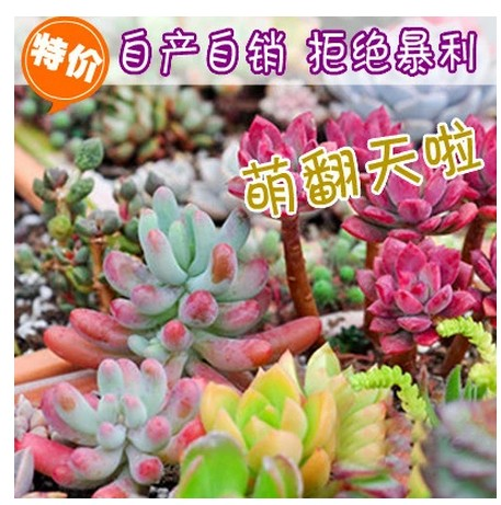 More meat and more meat plants purify the air radiation more meat mini potted succulents alocasia huang anticancer shipping