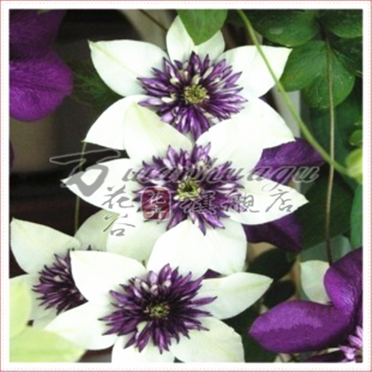 [Na wa] clematis species of root seedlings courtyard balcony climbing plants flower flowers absorb formaldehyde