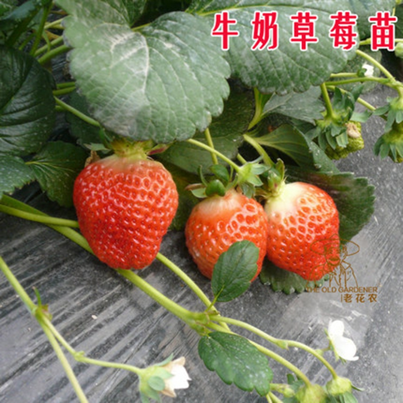 Old flower knot indoor cultivation of milk strawberry strawberry potted seedlings when seedlings balcony patio scandent damiao