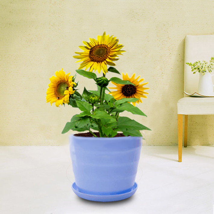 Ornamental flower seed sowing seasons balcony patio potted flowers sunflower sunflowers flower dwarf plants flower