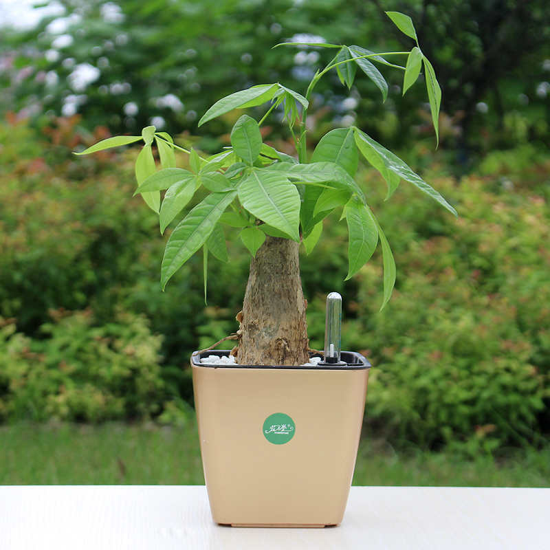 Pachira potted plants flower white palm small objects office money tree bonsai tree stump indoor plant to purify the air