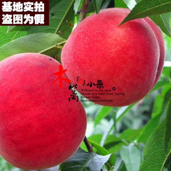 [Peach they'il 15] potted fruit tree seedlings planted seedlings potted seedlings nectarine peach seedlings grafted peach tree honey water
