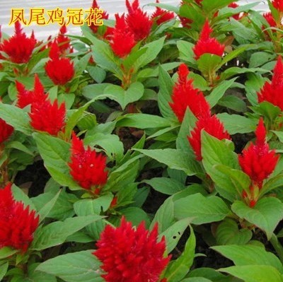 [Phoenix] cockscomb cockscomb mohawks vanilla flower seed sowing seasons courtyard balcony ornamental potted plants