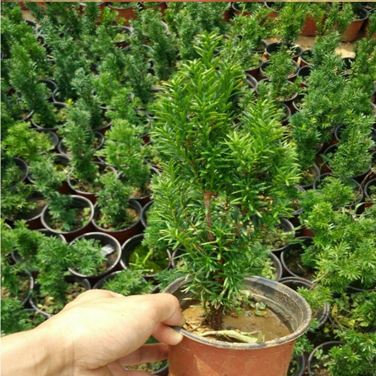 Potted bonsai yew taxus chinensis cold-tolerance radiation absorbing formaldehyde air purification plant