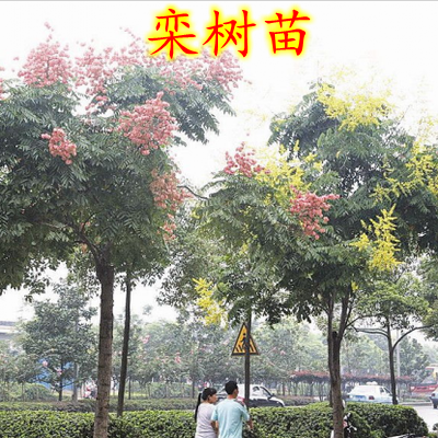 Potted flowers beijing huangshan luan luan tree sapling trees goldraintree goldraintree tree sapling trees seedlings potted flowers