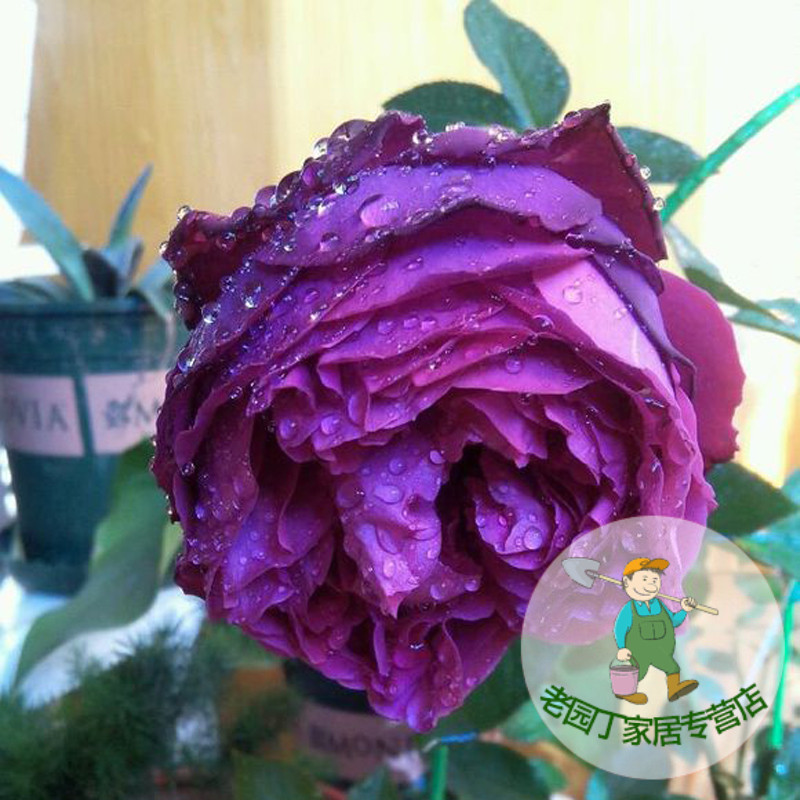 Rose rose flowering seasons moon and strong fragrant flower rose flower seedlings potted flowers fragrant garden