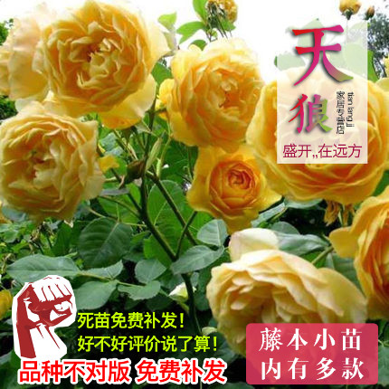Seasons flowering climbing rose vine varieties q zone europe month green rose rose seedlings potted flower plants flowers