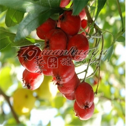 ] [Shan lihong hawthorn hawthorn seedlings balcony patio potted fruit tree seedlings planted seedlings base direct pin with soil shipments
