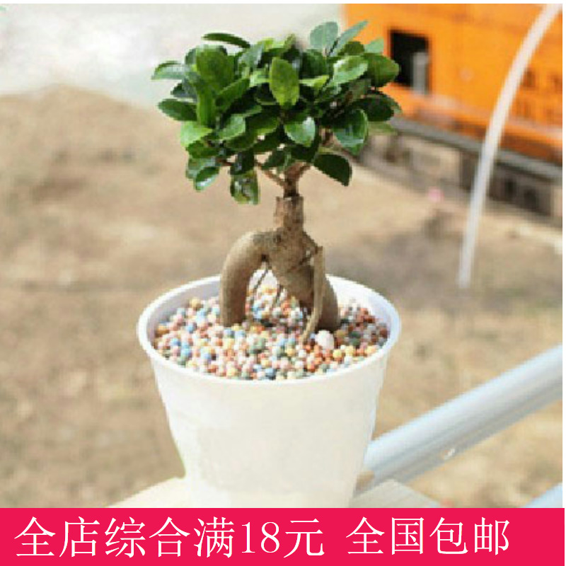Small banyan ginseng ficus soil culture hydroponic plants absorb formaldehyde indoor bonsai plants potted flowers in addition to formaldehyde evergreen