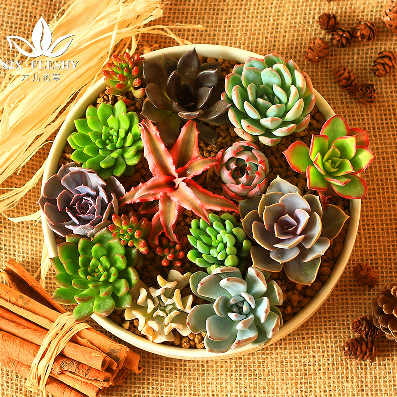Succulents flower potted plants meaty combination of radiation potted bonsai pots to send send soil