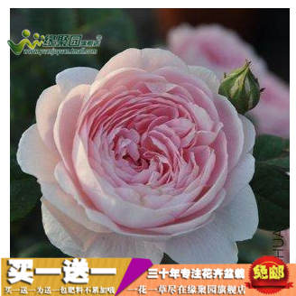 [Sweden] queen europe month fujimoto rose seedlings climbing roses climbing rose rose flower seedlings potted plants