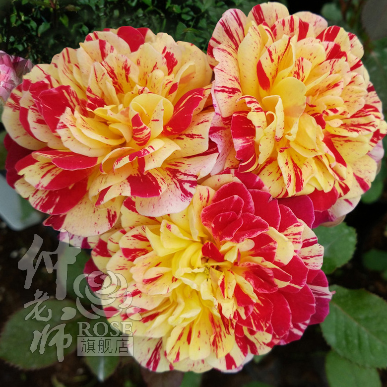 The nation's magic rose seedlings flowering season stripes repigmentation rose rose rose potted seedlings potted balcony