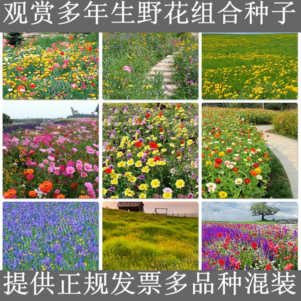Wildflowers combination of flower garden flowers in bulk umco50 cold and drought resistant seeds sowing seasons easy to plant beautiful flowers