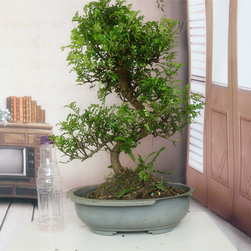 Wood fragrance bonsai green mosquito repellent plants potted flowers clean air miniature stars suck a andwater indoor and outdoor