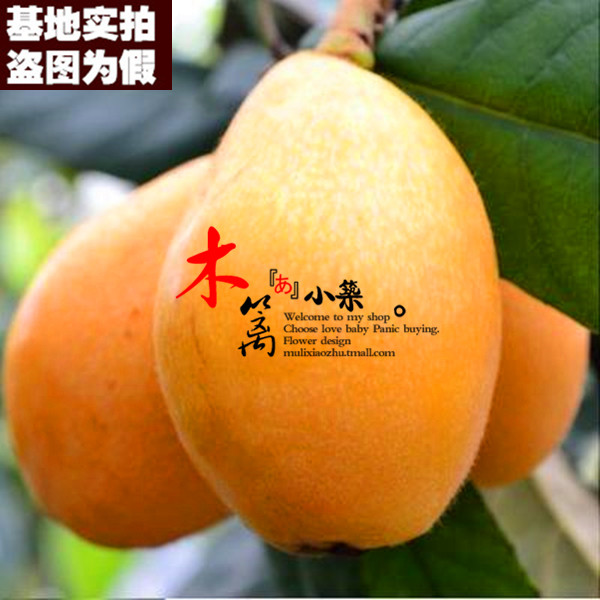 Yangtze river [three no. 15] loquat seedlings baisha pipa pipa tree trees flower seedlings garden plants
