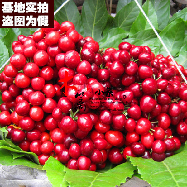 [Zaodaguo cherry 15] potted planted cherries cherry cherry seedlings grafted seedlings when the year end plantlet